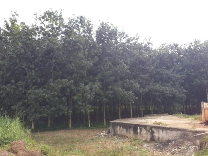 Rubber Plantation WR